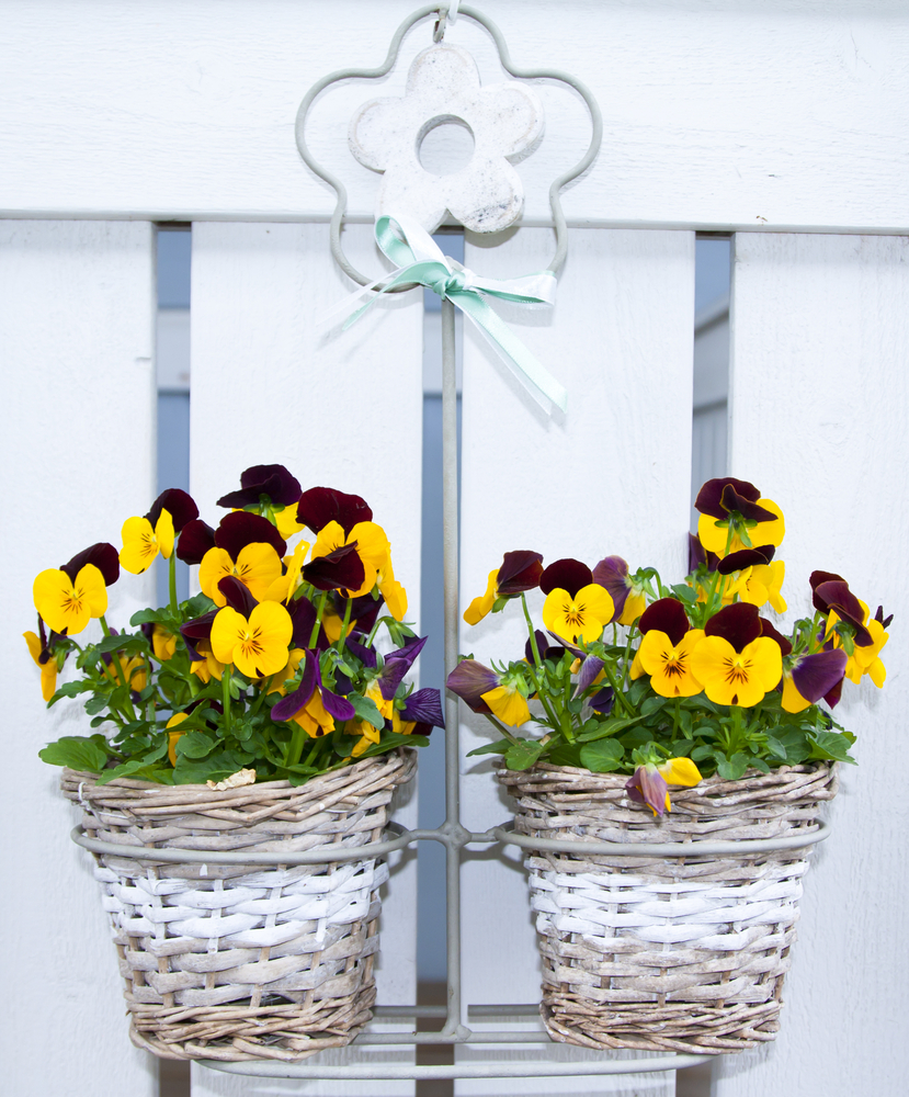 Pansies and Violas