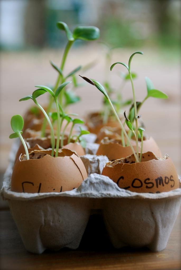 Eggshell Seedling Starters