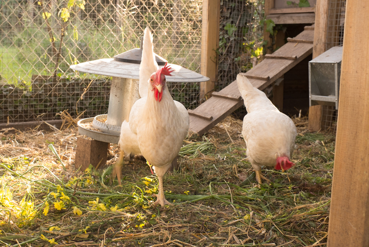 Purpose-built Chicken Coop