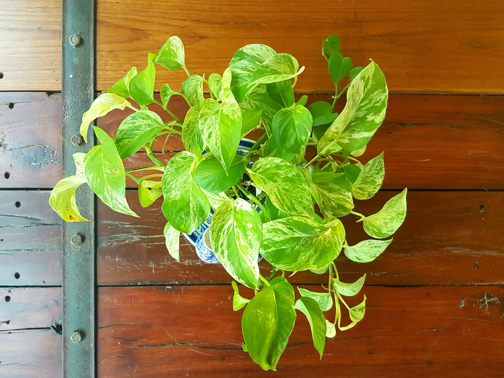 #2 Golden Pothos