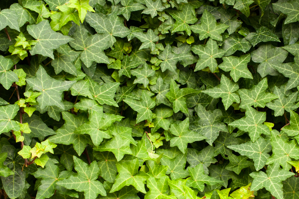 #3 English Ivy