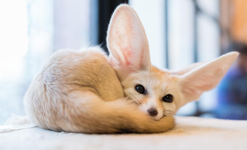 #8 Fennec Fox