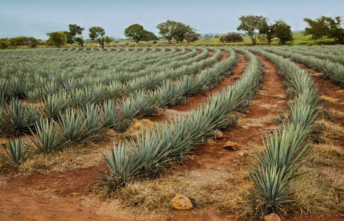 Take a tequila train in Mexico