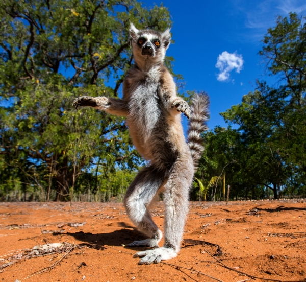 Lemur Chase