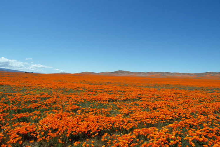 Poppy Reserve, Antelope Valley