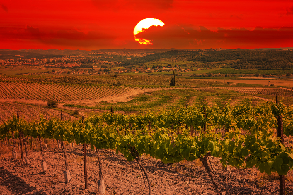 Israel vineyard with sunset