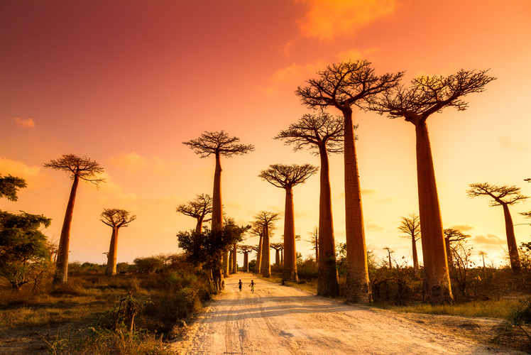 Avenue-of-Baobabs