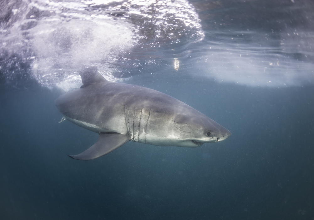 Swim With Great White Sharks, South Africa