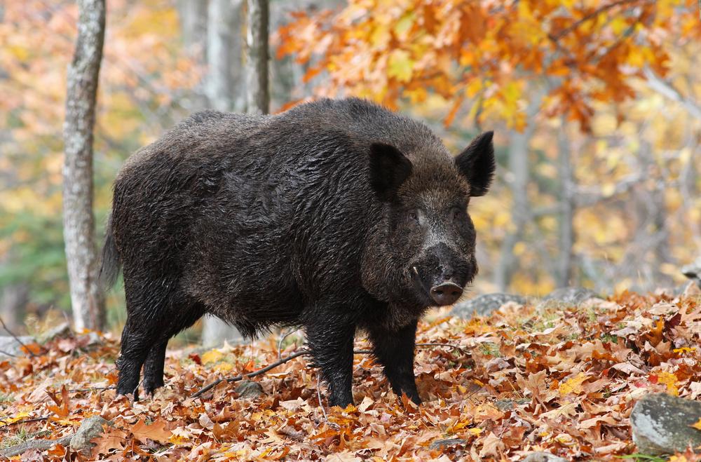 #10 Wild Boar