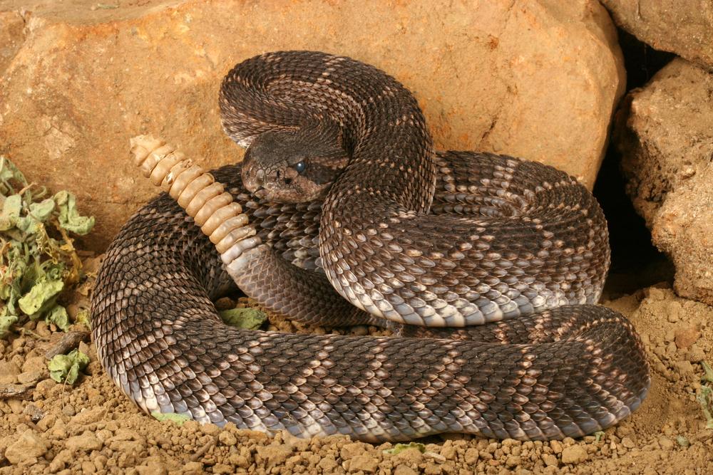 #2 Rattlesnake