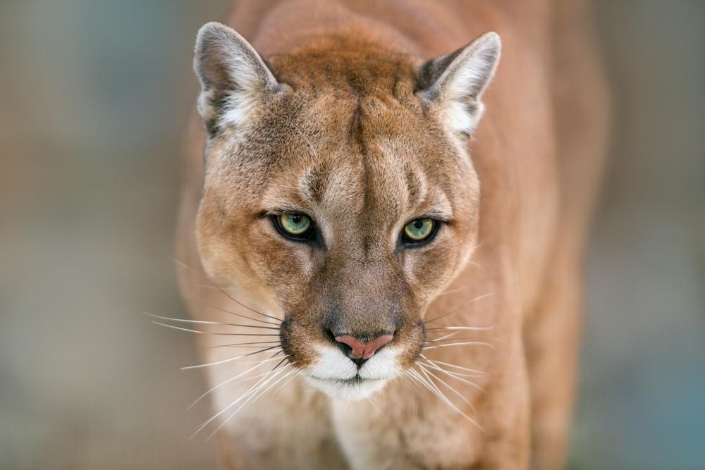 #7 Cougar