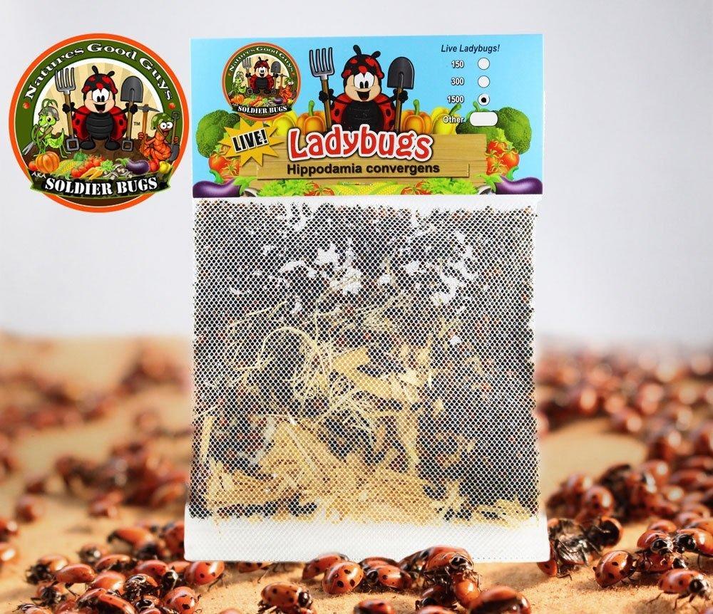 1500 Ladybugs