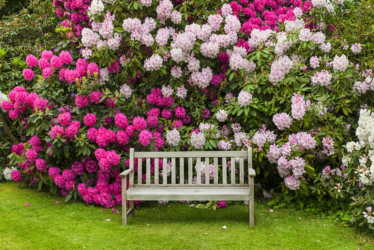 Rhododendron is prettiest of the most poisonous yard plants