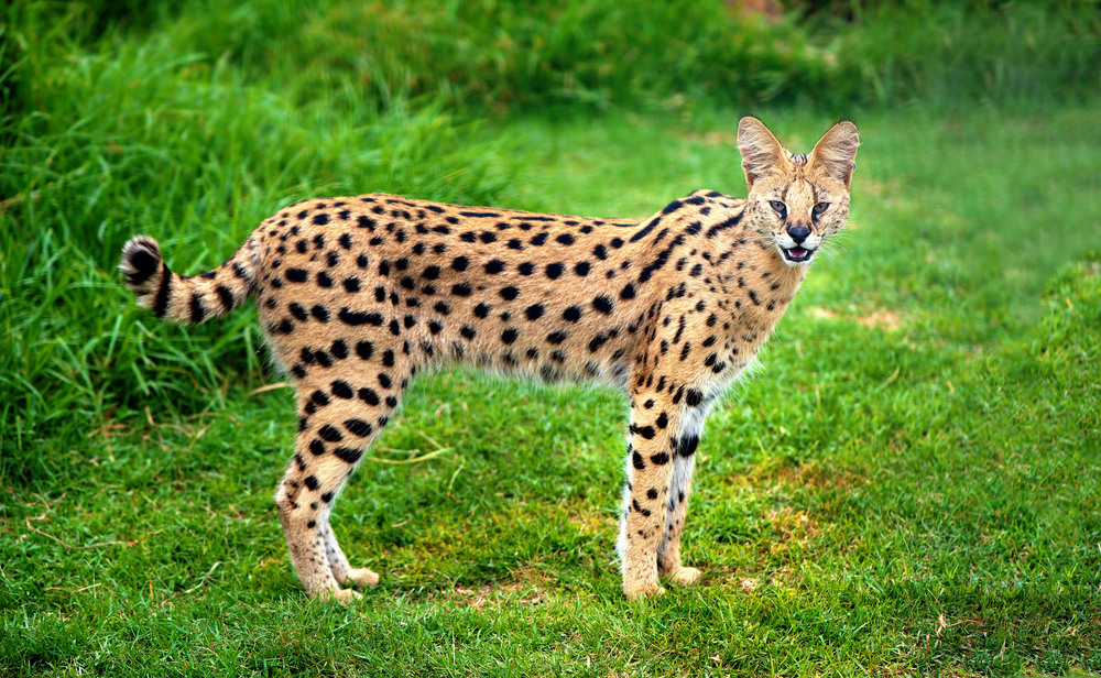 #2 Serval