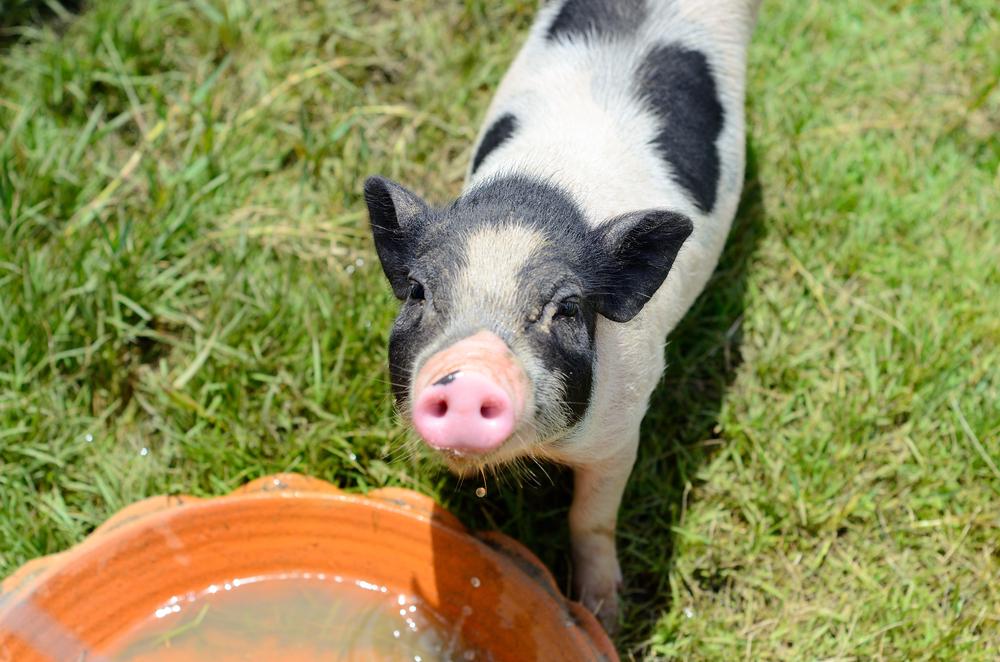 #3 Potbelly Pig