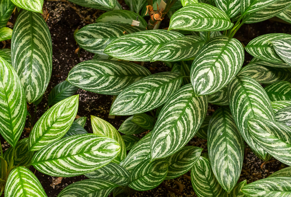 #5 Chinese Evergreen