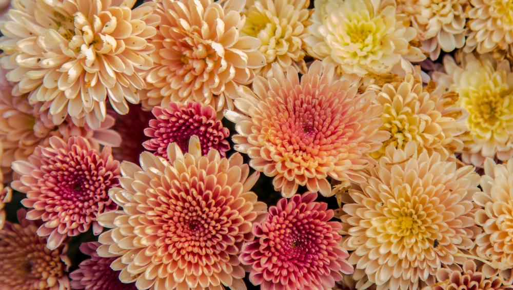 #6 Chrysanthemums