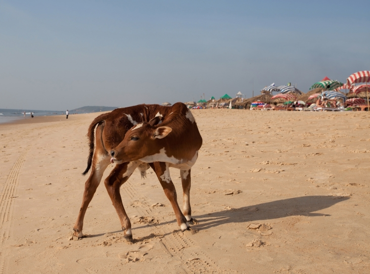 Cow Beach, Goa India