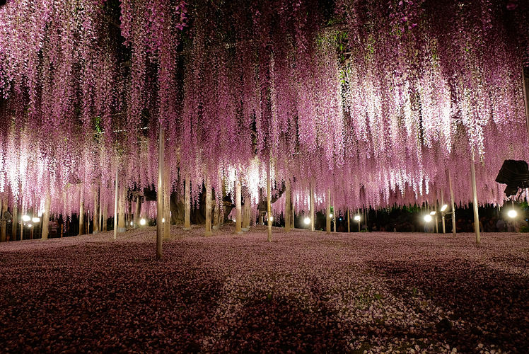 Ashikaga Flower Park, Japan
