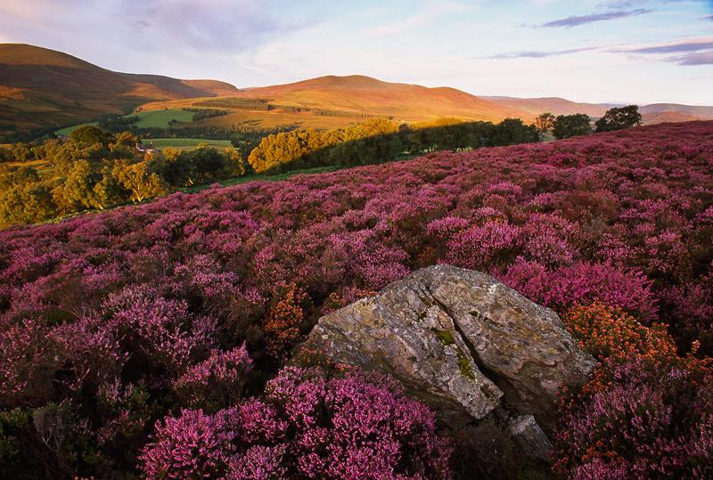 27. Heather, Scotland