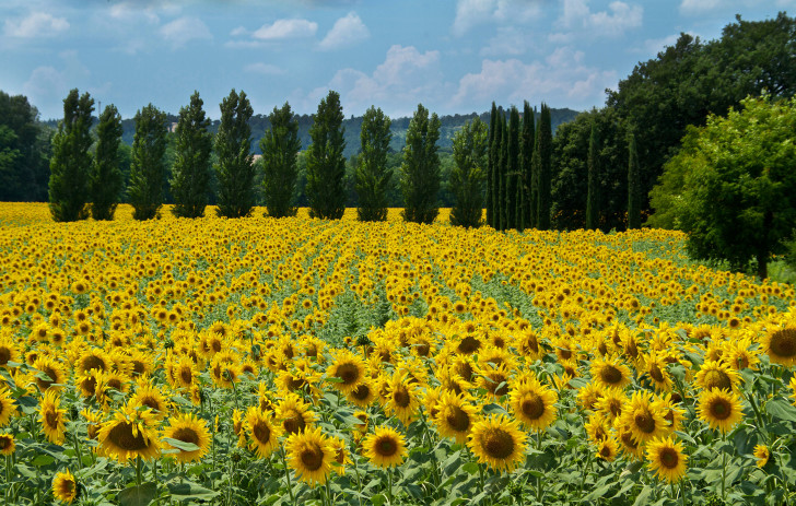 28. Sunflowers, Tuscany