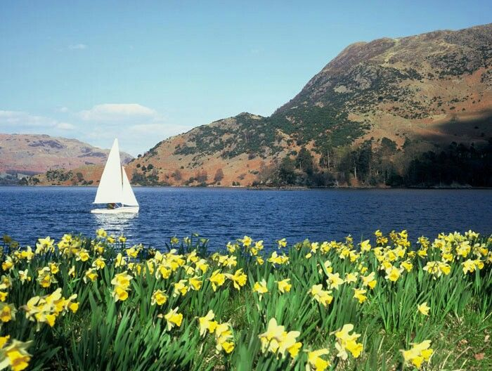 30. Daffodils, Lake District, UK