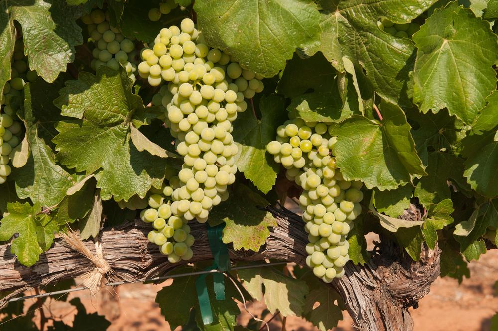 Vineyard Nevada
