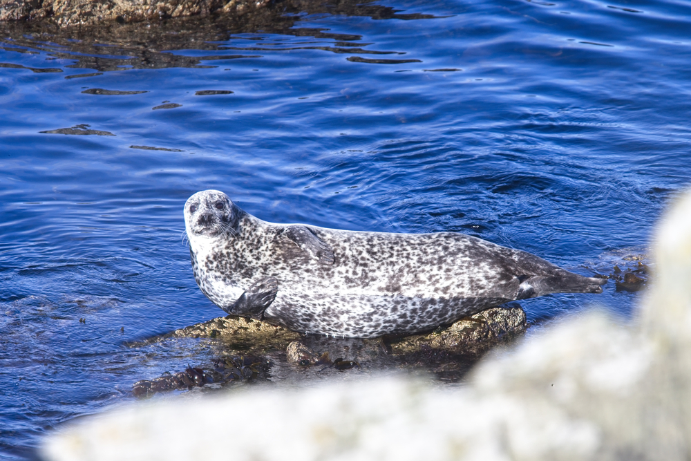 Common or Harbour Seal, (Phoca vitulina) basking on a rock, Scotland, UK.