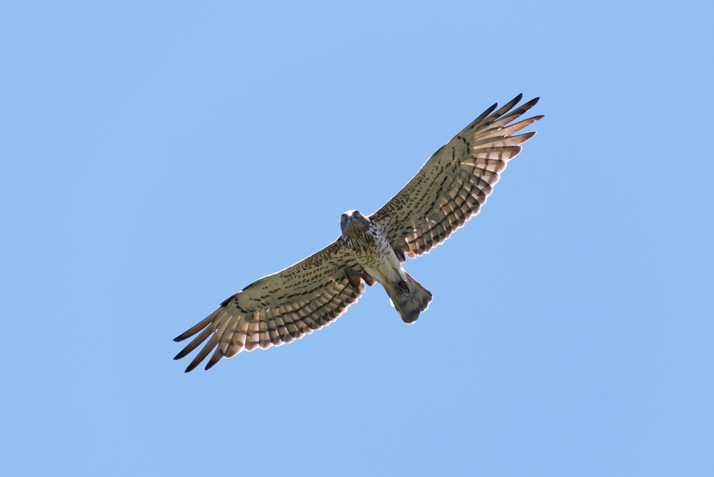 Short-toed eagle overhead looking straight down
