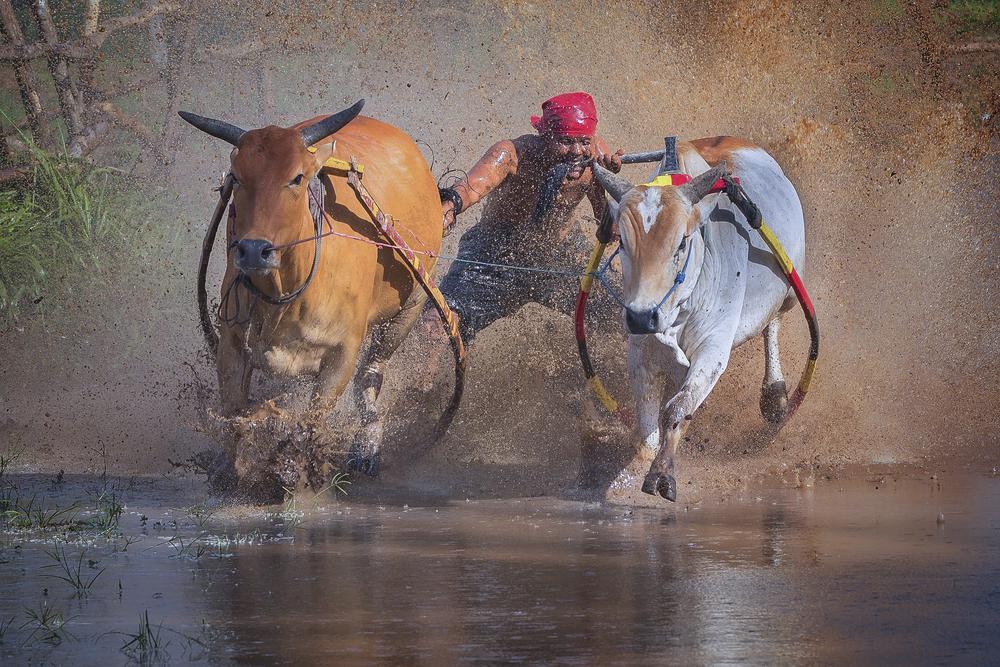 Watch Water Buffalo Racing, Indonesia
