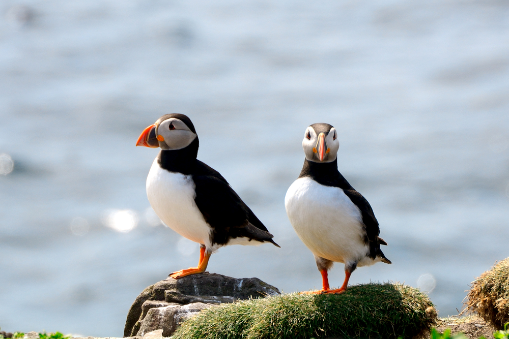 atlantic puffins, orkney