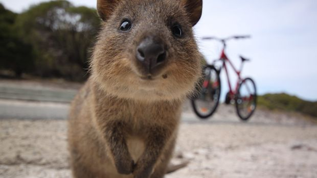 See the happiest animal on Earth at Rottnest