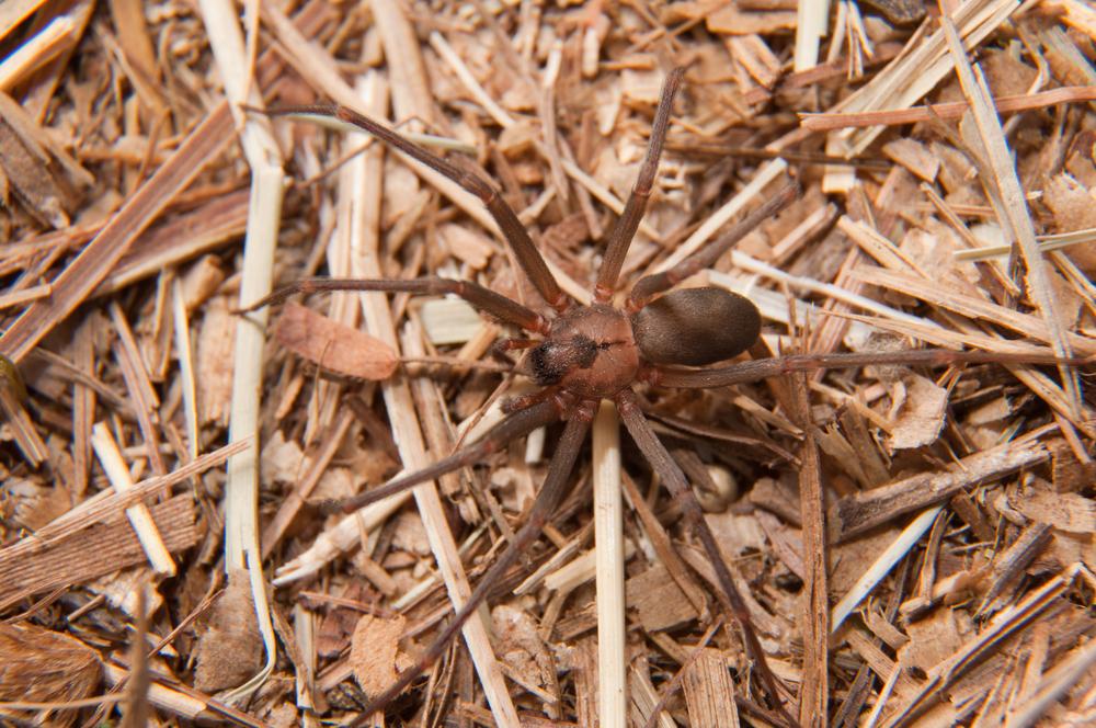 #1 Brown Spider