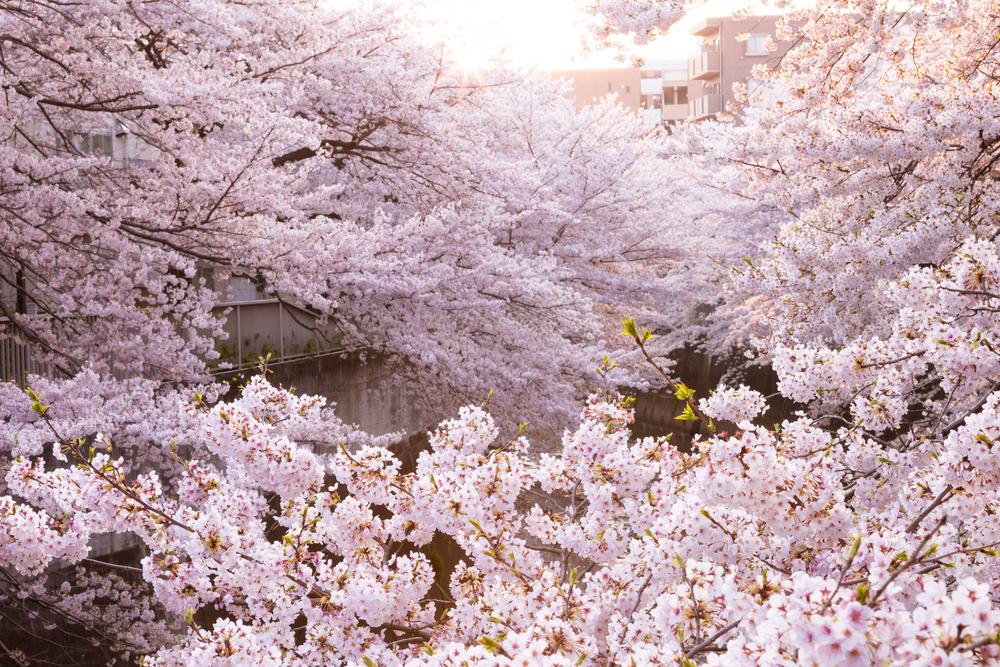 #6 Yeouido Cherry Blossom Festival